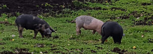 Weaner pigs for sale Strathcona County Edmonton Area image 1