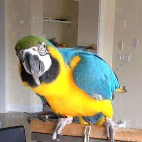Male macaw