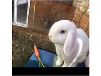 Lop ear pure white bunnie rabbit with hutch and all necessities