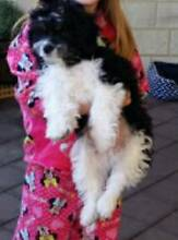 Maltese x Shih Tzu Male 1 yr old desexed,microchip, vaccinated, Rockingham Rockingham Area Preview