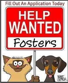"""Young Male Dog - Chihuahua: """"Foster Homes Needed"""""""