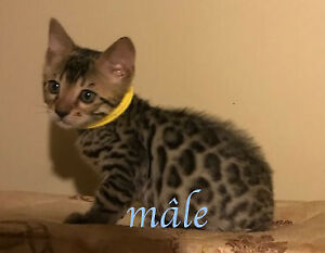 Chatons Bengal Pure Race
