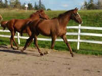 Dutch Warmblood/Thoroughbred 3 yr old Filly