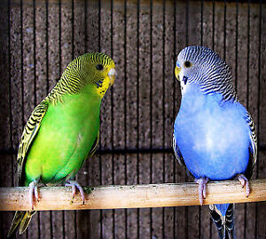 Budgies looking for new home