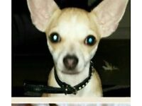 Chihuahua for sale £250