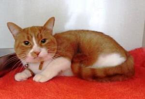 "Adult Male Cat - Tabby (Orange)-Domestic Short Hair: ""Roonta"""
