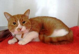 "Adult Male Cat - Tabby - Orange-Domestic Short Hair: ""Roonta"""