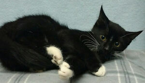 "Baby Male Cat - Domestic Short Hair (Black & White): ""Ben"""