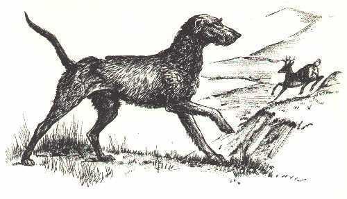 SCOTTISH DEERHOUND - 1964 Dog Art Print - MATTED