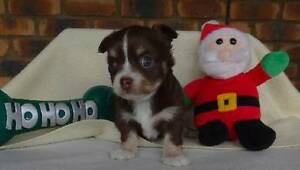 Chihuahua Long Coat Male pups. Pedigree Dogs NSW Grafton Clarence Valley Preview