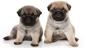 WANTED: Pug puppy Melbourne CBD Melbourne City Preview