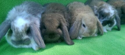 QUALITY PURE BREED MINI LOPS FROM DEDICATED HOBBY BREEDER Londonderry Penrith Area Preview