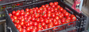 Organically Grown Roma and salsa tomatoes, peppers by the bushel