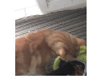 Ginger male cat