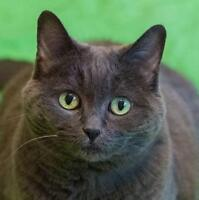 "Senior Female Cat - Domestic Short Hair: ""Smoky"""