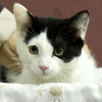 Young Male  - Domestic Short Hair-black and white-Tuxedo
