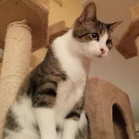 Adult Male  - Tabby - Brown-Domestic Short Hair-white