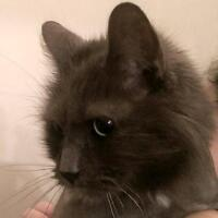 "Senior Male Cat - Domestic Long Hair-gray: ""Tom"""