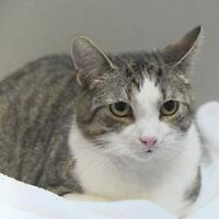 Young Female  - Domestic Short Hair-Tabby - white