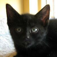 "Baby Male Cat - Domestic Short Hair: ""BrayvHart"""