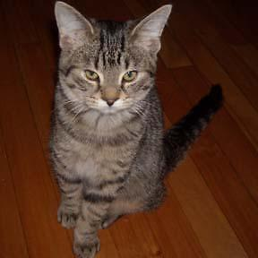 """Young Male Cat - Domestic Short Hair-Tabby - Brown: """"Darcy"""""""