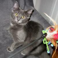 "Baby Female Cat - Domestic Medium Hair-gray: ""Lily"""
