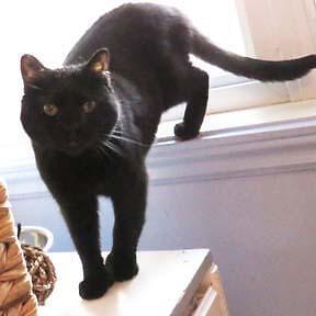 "Adult Female Cat - Domestic Medium Hair-black: ""Puma"""