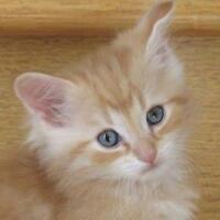 "Baby Male Cat - Domestic Short Hair: ""Ty"""
