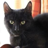 "Young Male Cat - Domestic Short Hair-black: ""Fiston"""