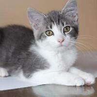 Baby Female  - Domestic Short Hair-Tabby - white
