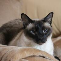 "Senior Male Cat - Siamese: ""Momo"""