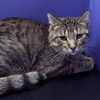 "Adult Male Cat - Domestic Short Hair-Tabby: ""Tobie"""