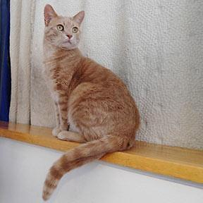 """Adult Male Cat - Domestic Short Hair - orange and white: """"Tiki"""""""