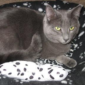 """Adult Male Cat - Domestic Short Hair-gray: """"Tommy"""""""