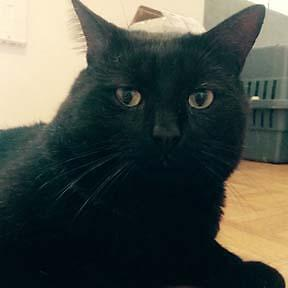 Adult Male  - Domestic Short Hair-black-Domestic Short Hair