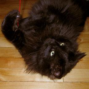 "Adult Male Cat - Domestic Medium Hair-black: ""Hugo"""