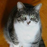 "Adult Male Cat - Tabby: ""Romeo"""