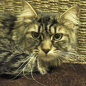 Adult Female  - Domestic Medium Hair - brown-Tabby - Brown