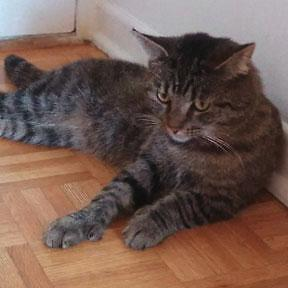 """Adult Male Cat - Tabby - Brown-Domestic Short Hair: """"Charlie"""""""