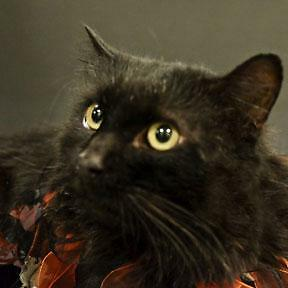 "Senior Male Cat - Domestic Medium Hair-black: ""Tit-homme"""