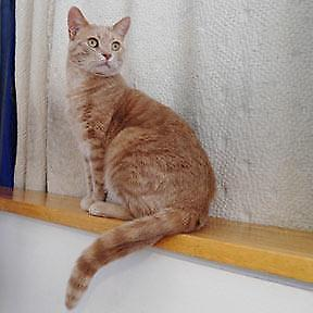 "Adult Male Cat - Domestic Short Hair: ""Tiki"""