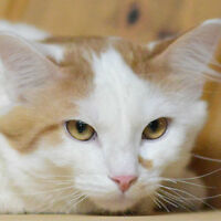 MEOW Foundation's Kitten Ralphie Looking for a Loving Home!