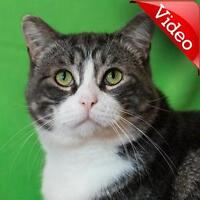 "Adult Male Cat - Domestic Short Hair: ""Barcley"""