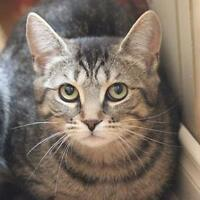 "Young Female Cat - Domestic Short Hair-Tabby: ""Patsy"""