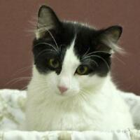 Young Male  - Domestic Medium Hair-black and white-Tuxedo