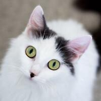 "Young Female Cat - Domestic Medium Hair: ""Harlowe"""