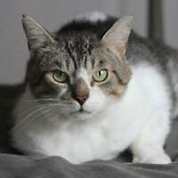 Male Cat - Domestic Short Hair - buff and white-Tabby - Brown