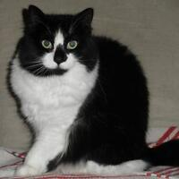 """Adult Female Cat - Domestic Long Hair-black and white: """"Rosa"""""""