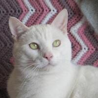 "Adult Male Cat - Domestic Short Hair-white: ""Basile"""