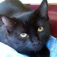 """Young Male Cat - Domestic Short Hair: """"Biscotti"""""""